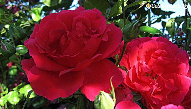 Снимка Тъмно розова щамбова роза - дърво 110-140 см