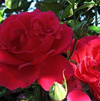 Снимка High society щамбова роза - дърво...