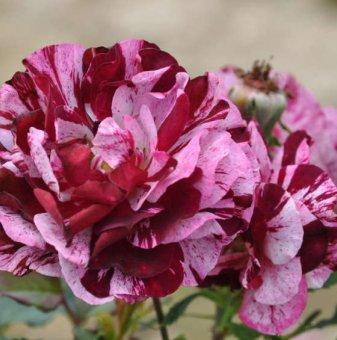 New imagine щамбова роза - дърво