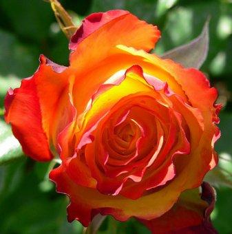 Оранжева + червена щамбова роза - дърво