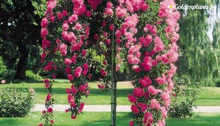 Снимка Цикламена  плачеща роза - дърво