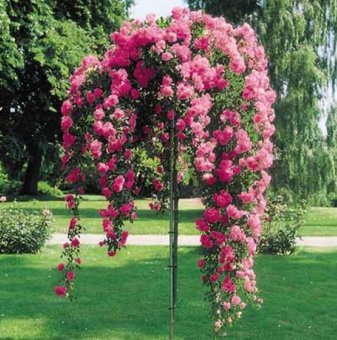 Цикламена  плачеща роза - дърво