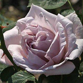 Пепел от Рози щамбова роза - дърво