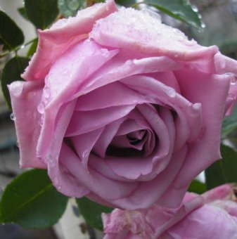 Лила щамбова роза - дърво