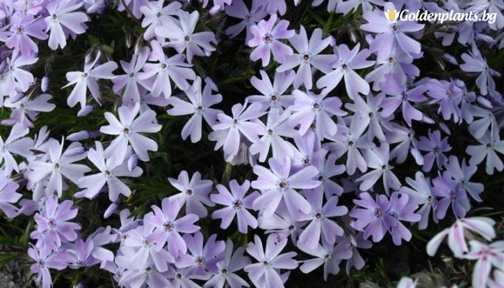 Снимка Флокс син /Phlox Subulata Emerald Cushion Blue/