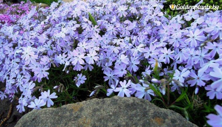 Снимка Флокс син /Phlox Subulata Emerald Cushion Blue/
