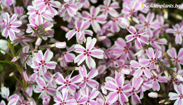 Снимка Флокс Kimono Pink-White
