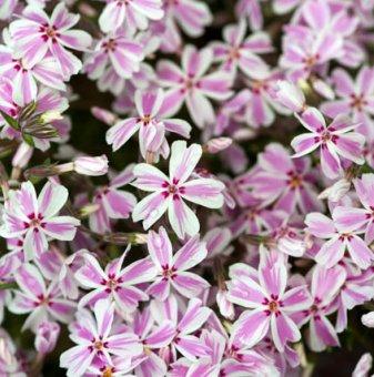 Флокс Kimono Pink-White
