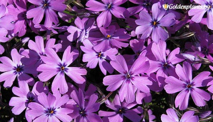 Снимка Флокс Purple Beauty