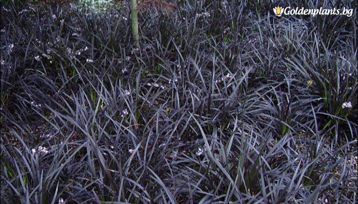 Снимка Офиопогон черен /Ophiopogon black/