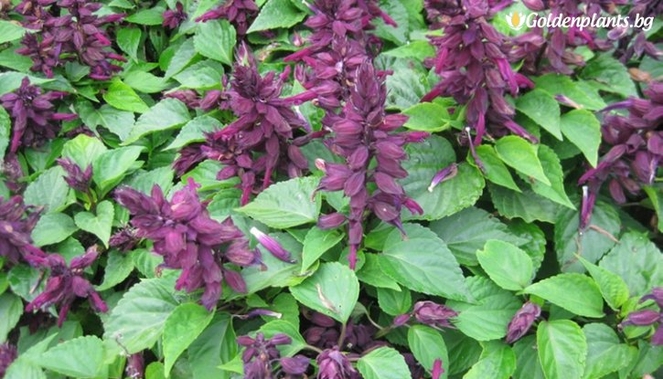 Снимка  Салвия Vista Purple /Salvia Vista Purple/