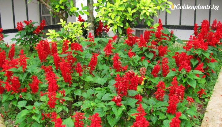 Снимка  Салвия Vista Red /Salvia Vista Red/