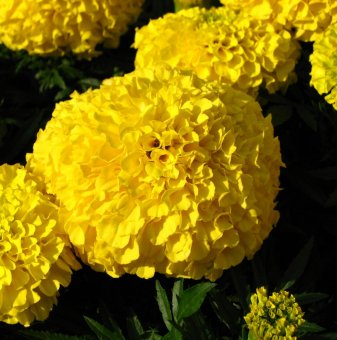 Тагетис жълт - Турта / Tagetes Erecta Yellow /