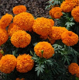 Снимка Taгeтec оранжев /Tagetes Erecta Orange/...
