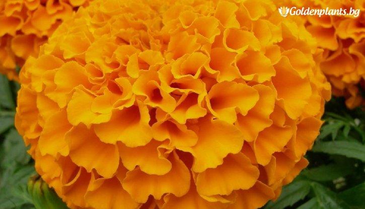 Снимка Taгeтec оранжев /Tagetes Erecta Orange/