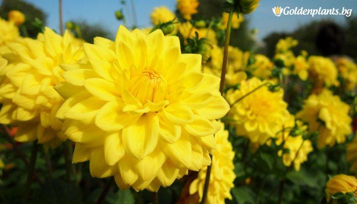 Снимка Далия Фигаро жълта /Dahlia Figaro Yellow/
