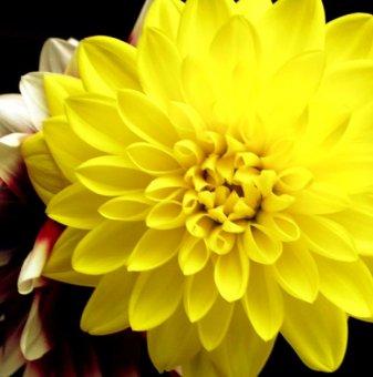 Снимка Далия Фигаро жълта /Dahlia Figaro Yellow/...