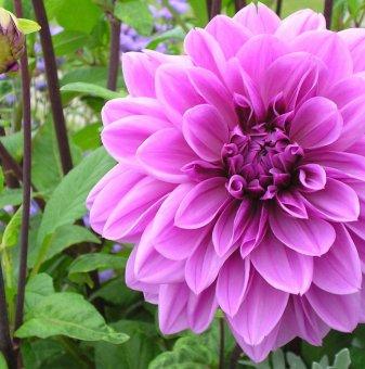 Салвия двуцветна /Salvia Bicolour/