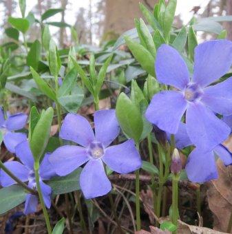 Снимка Катарантус син / Мадагаскарско цвете /Catharanthus Blue/...