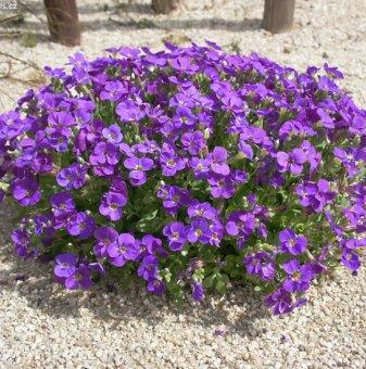 Аубриета лилава /Aubrieta Gracilis Violet/