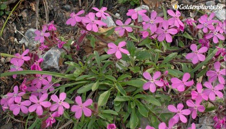 Снимка Сапонария скална / Saponaria Ocymoides /