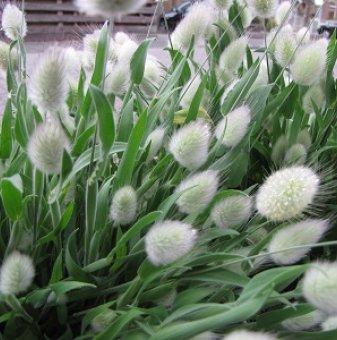 Хортензия розова / Hydrangea Аrborescens /