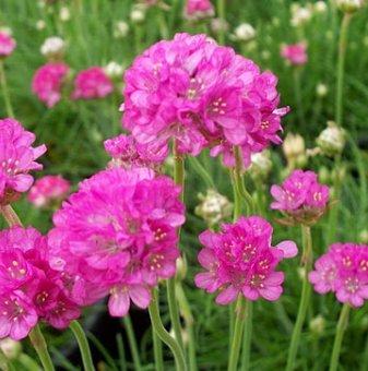 Армерия розова / Лъжичниче /Armeria Maritima/...