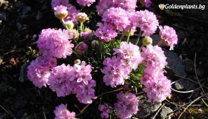 Снимка Армерия бледо розова / Лъжичниче /Armeria Maritima/