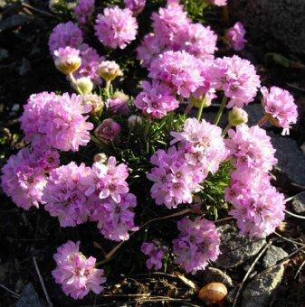 Армерия бледо розова / Лъжичниче /Armeria Maritima/...