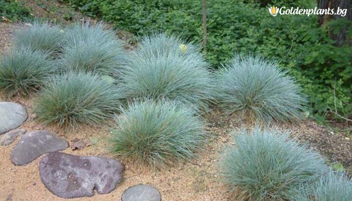 Снимка Фестука, синя трева / Festuca glauca