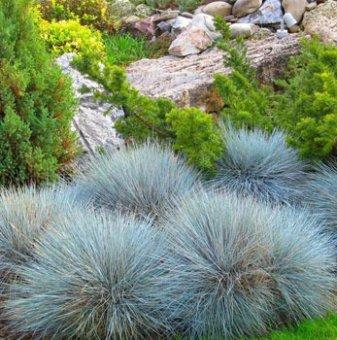 Фестука, синя трева / Festuca glauca