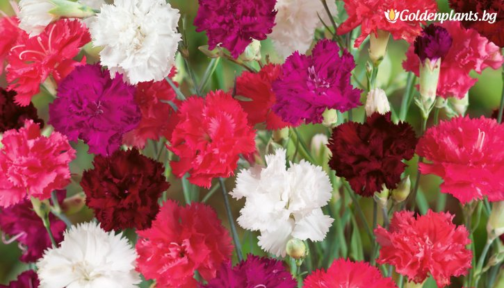 Снимка Карамфил микс /Dianthus Lillipot Mix/