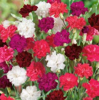 Карамфил микс /Dianthus Lillipot Mix/...