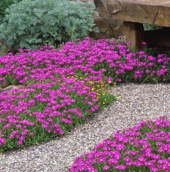 Кълбовидна Хризантема бяла / Chrysanthemum /