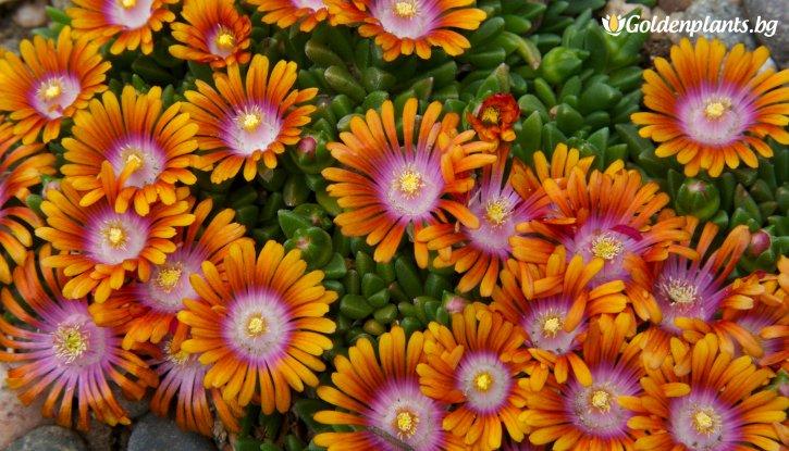 Снимка Делосперма оранжева /Delosperma Orange wite Eye/