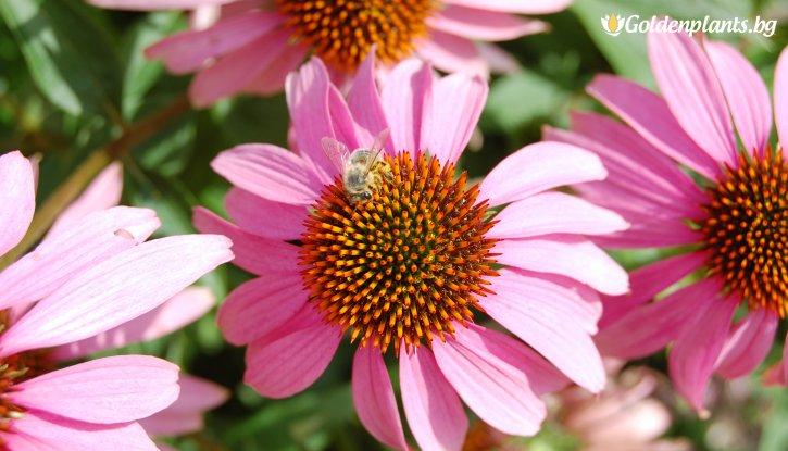 Снимка Ехинацея  /Echinacea Purpurea/