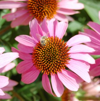 Ехинацея  /Echinacea Purpurea/...