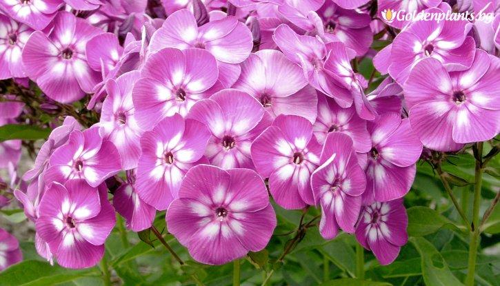 Снимка Флокс Purple Kiss
