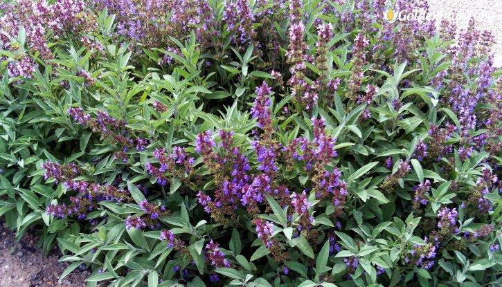 Снимка  Салвия трицветна /Salvia Tricolor/