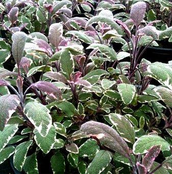 Снимка  Салвия трицветна /Salvia Tricolor/...