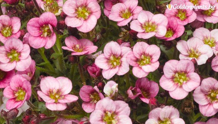 Снимка Саксифрага, Каменоломка /Saxifraga Alpino Early Pink/