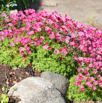 Снимка Саксифрага, Каменоломка /Saxifraga Alpino Early Pink/...