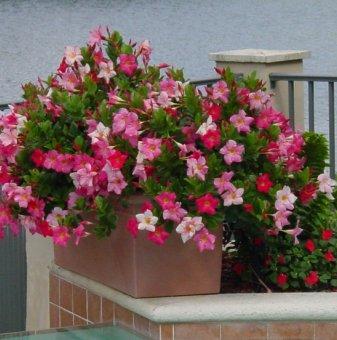 Снимка Мандевила / Дипладения  розова /Mandenvila Sevilla Pink/...
