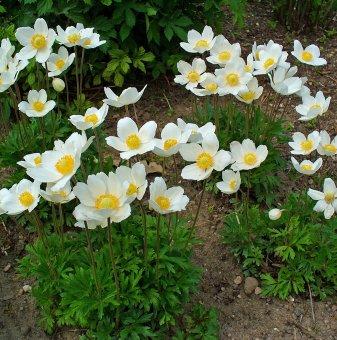 Анемоне Annabella бяла /Anemone Annabella White/...