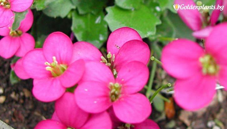 Снимка Арабис Deep Rose /Arabis Deep Rose/