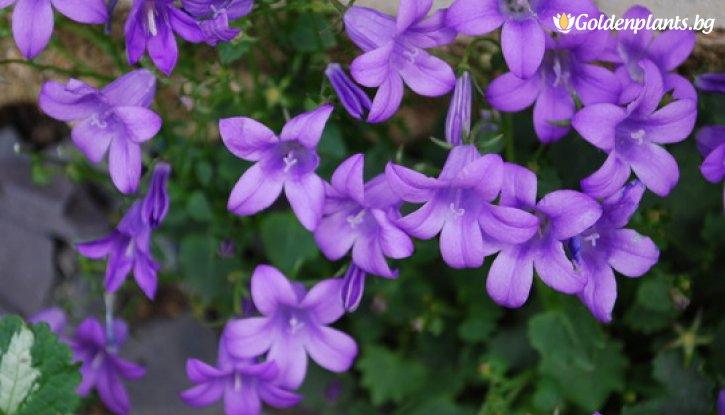 Снимка Кампанула Catharina /Campanula Catharina/