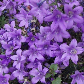 Салвия трицветна /Salvia Tricolor/