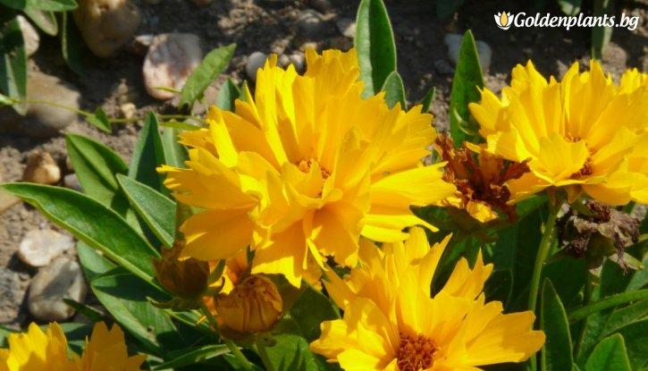 Снимка Кореопсис жълт /Coreopsis Presto/
