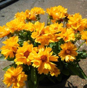 Кореопсис жълт /Coreopsis Presto/
