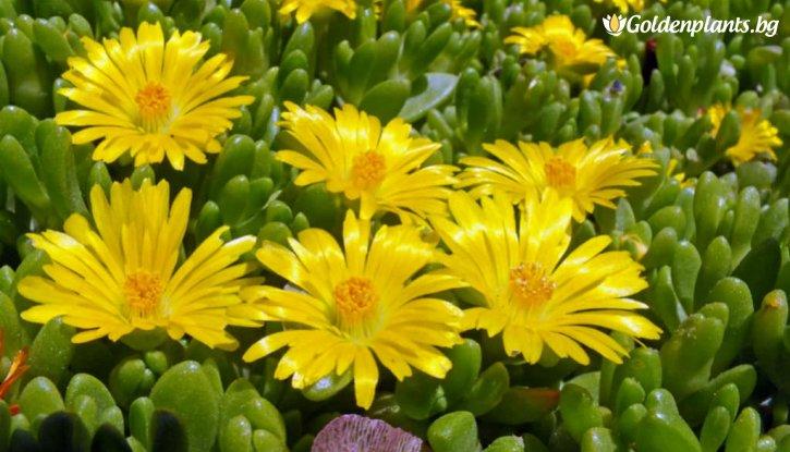 Снимка Делосперма жълта /Delosperma Yellow/